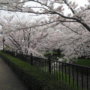 つかしん桜